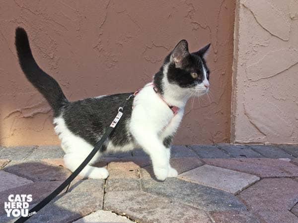 black and white tabby kitten on leash