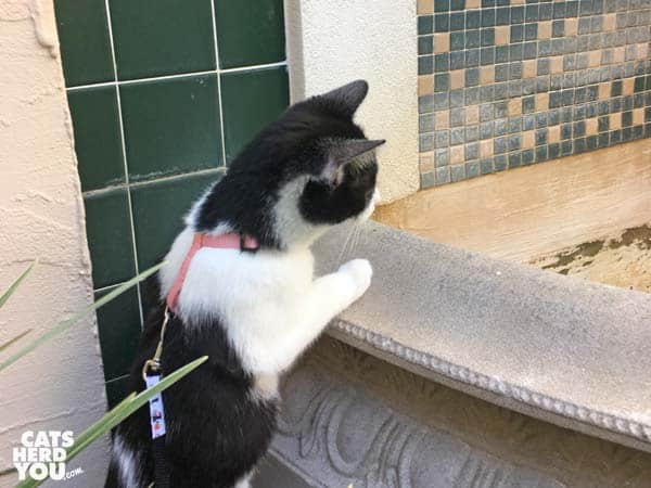 black and white tuxedo kitten looks into fountain basin