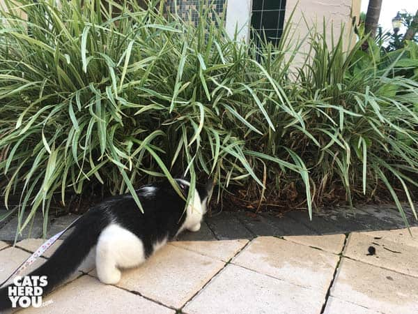 black and white tuxedo kitten looks into tall grass