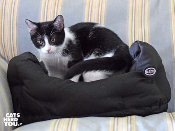 black and white tuxedo kitten stands in Buster bed