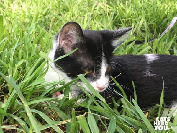 black and white tuxedo kitten sitsin grass