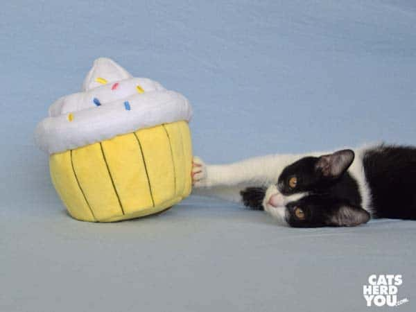 black and white tuxedo kitten and plush cupcake
