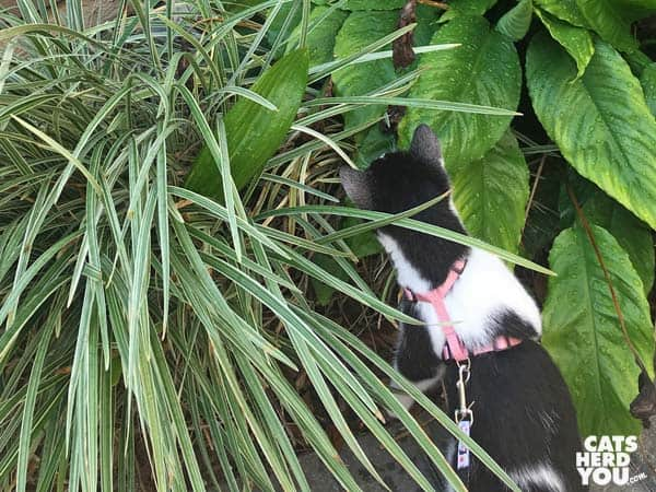 black and white tuxedo kitten looks into shrubbery