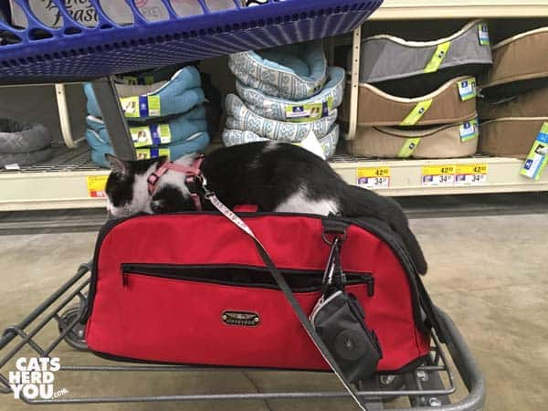 black and white tuxedo kitten rides on top of carrier under shopping cart