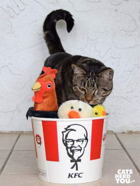 one-eyed brown tabby cat looks at stuffed animals in KFC bucket