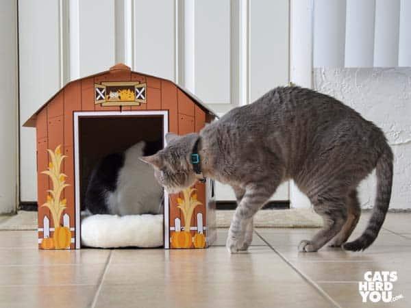 gray tabby cat looks into barn at black and white tuxedo kitten