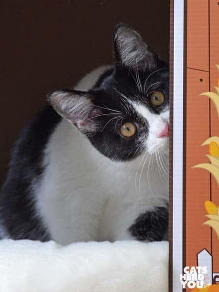 black and white tuxedo kitten looks sideways out of barn