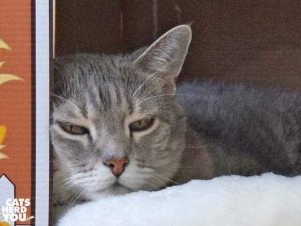 gray tabby cat looks sleepy