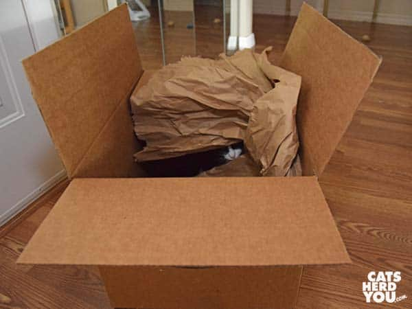 black and white tuxedo kitten peeks out of crumpled paper in cardboard box