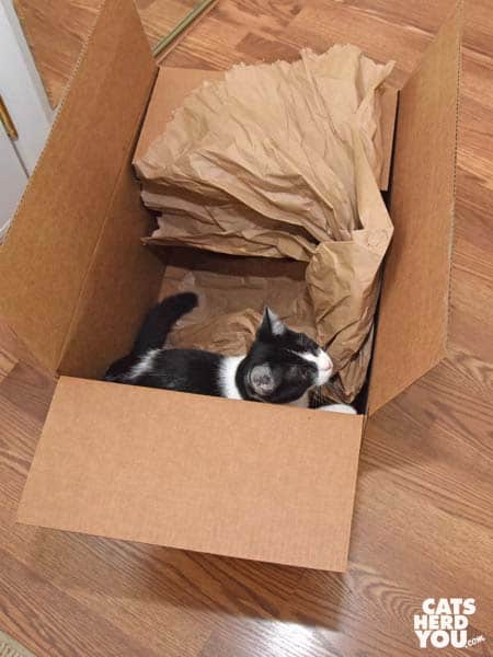 black and white tuxedo kitten in cardboard box