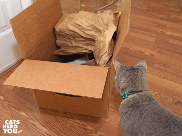 gray tabby cat looks at cardboard box