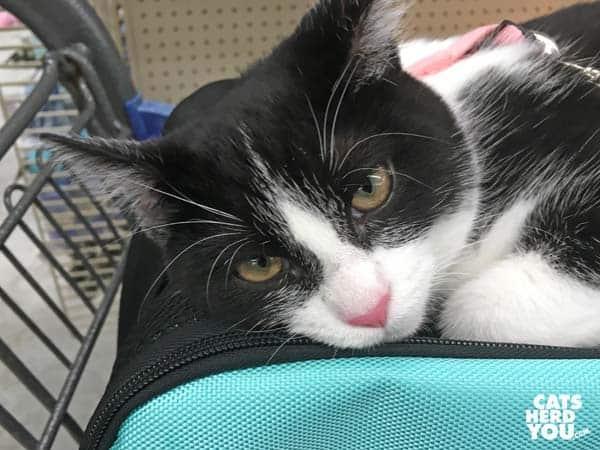 black and white tuxedo kitten lays atop carrier