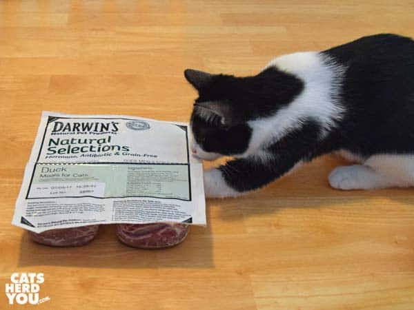 blackand white tuxedo kitten reaches under Darwin frozen raw cat food