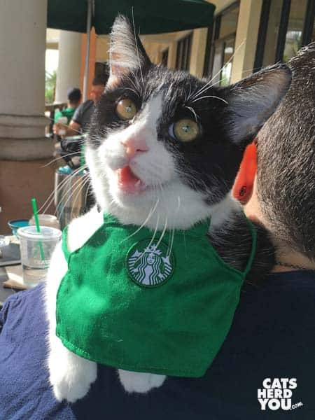black and white tuxedo kitten wears green Starbucks apron