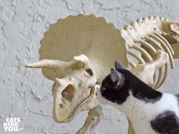 black and white tuxedo kitten looks at dinosaur