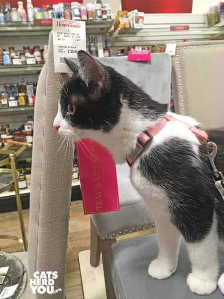 black and white tuxedo kitten sits on chair in store