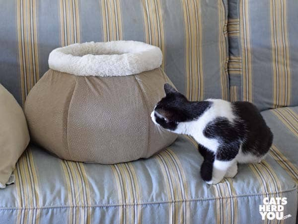 black and white tuxedo cat looks at round cat bed