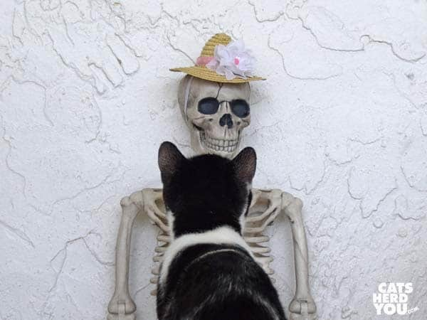 black and white tuxedo kitten looks at skeleton wearing straw hat