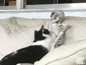 black and white tuxedo kitten sticks paw through skeleton ribcage and into skull