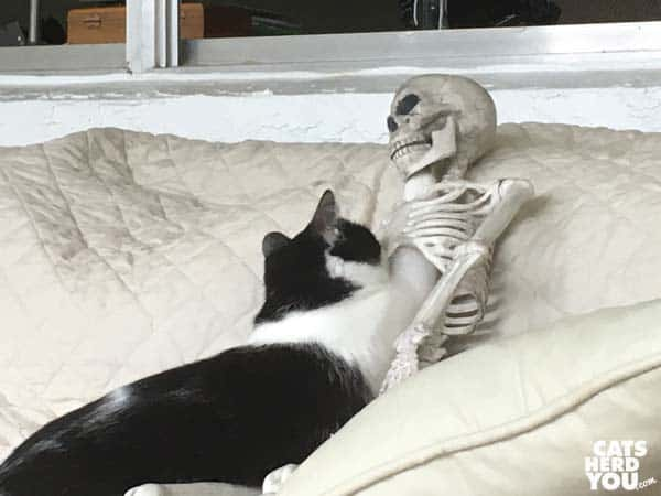 black and white tuxedo kitten sticks paw through skeleton ribcage and into skull