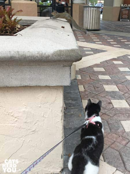black and white tuxedo kitten follows squirrel