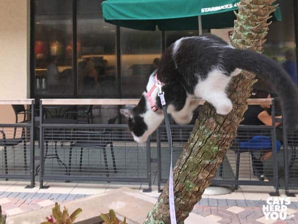 black and white tuxedo kitten leaps down from tree