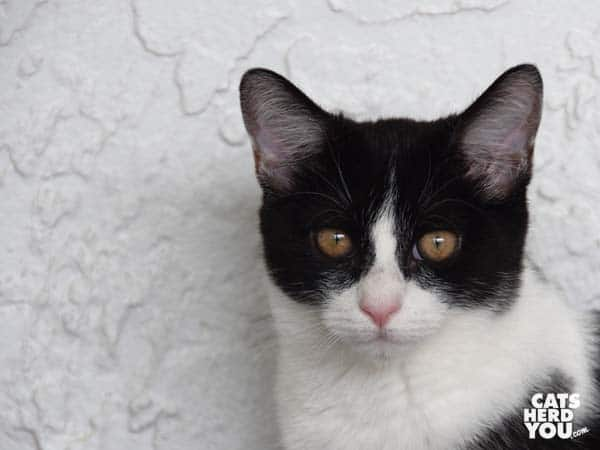 black and white tuxedo kitten