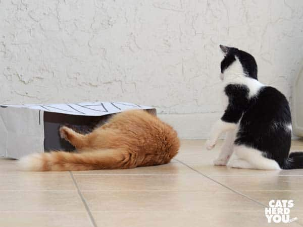 Orange tabby cat and black and white tuxedo kitten play around paper bag