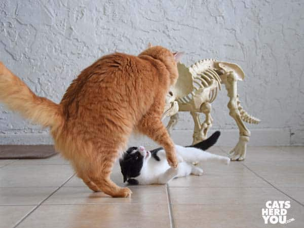 orange tabby cat tussles with black and white tuxedo kitten