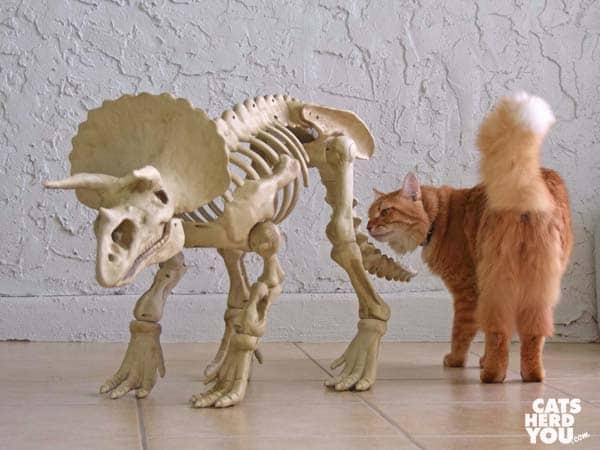 orange tabby cat examines dinosaur tail