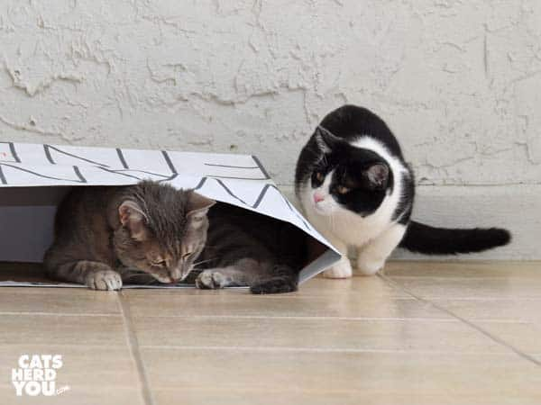 gray tabby cat in paper bag is stalked by black and white tuxedo kitten