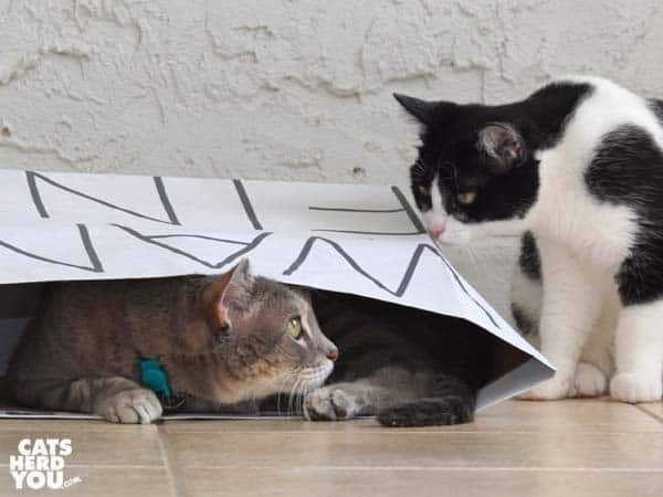gray tabby cat looks out of paper bat at black and white tuxedo kitten