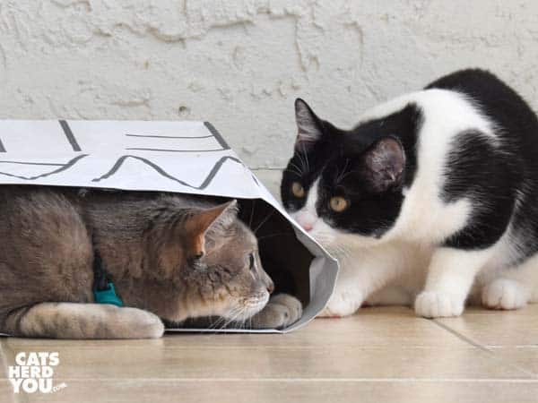 gray tabby cat looks out of paper bag at black and white tuxedo kitten