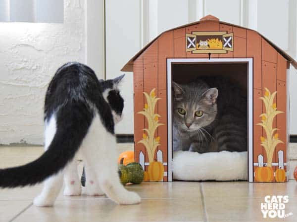 gray tabby cat in barn looks at black and white tuxedo kitten