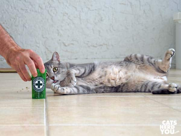 gray tabby cat shows tummy while looking at catnip