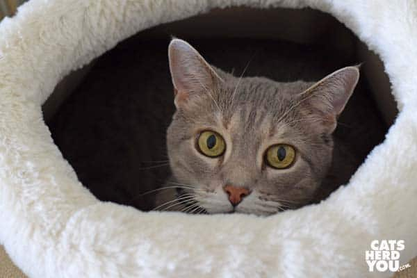 gray tabby cat looks up out of round cat bed