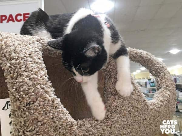 black and white tuxedo cat climbs on cat tree in retail store