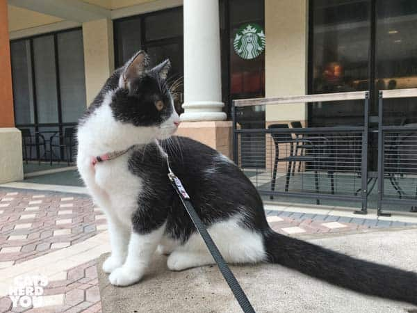 black and white tuxedo kitten sits outside starbucks