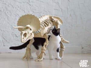 black and white tuxedo cat under dinosaur skeleton