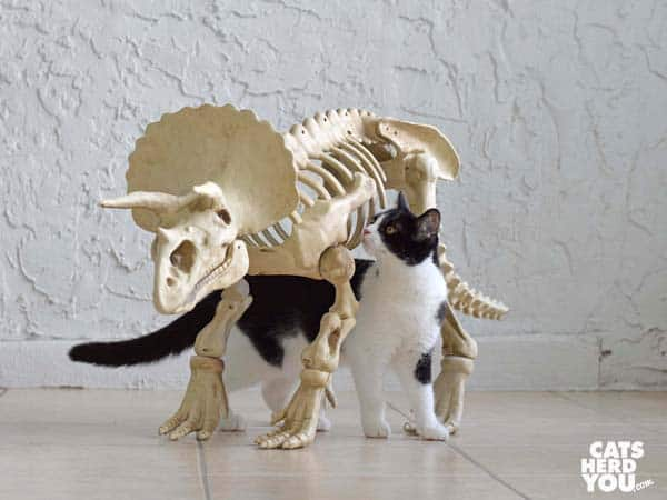 black and white tuxedo cat under dinosaur skeleton