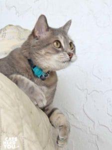gray tabby cat looks alert