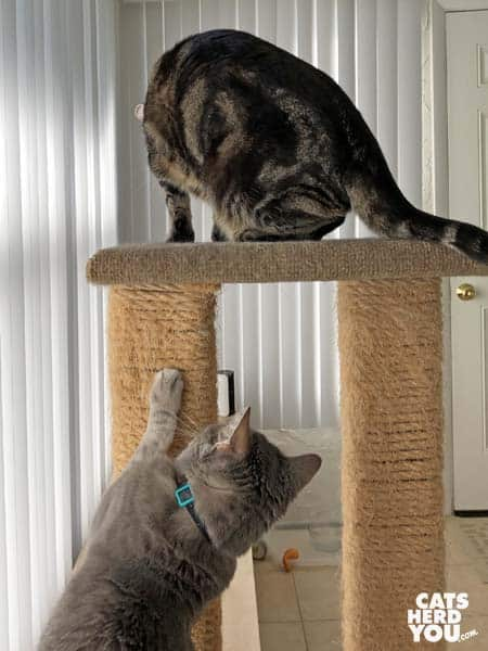 gray tabby cat bothers one-eyed brown tabby cat on cat tree