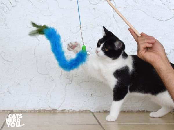 black and white tuxedo kitten plays with blue boa wand toy