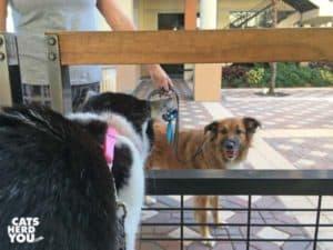 black and shite tuxedo kitten looks at dog