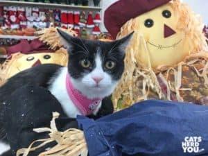 black and white tuxedo kitten with scarecrow
