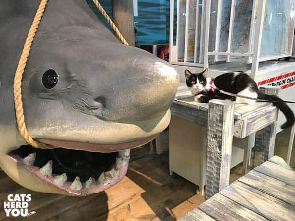 black and white tuxedo cat sits next to shark