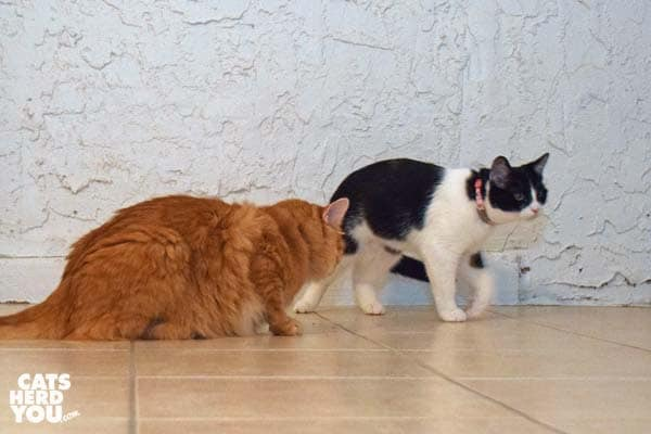 orange tabby cat and black and white tuxedo kitten