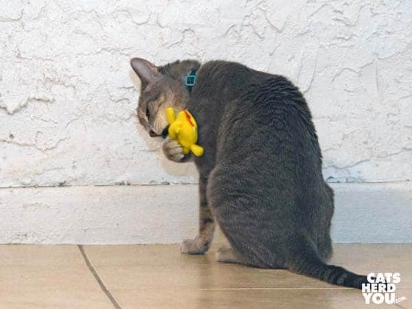 gray tabby cat plays with chick
