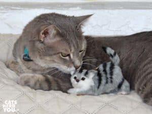 gray tabby cat with mini furred gray tabby cat