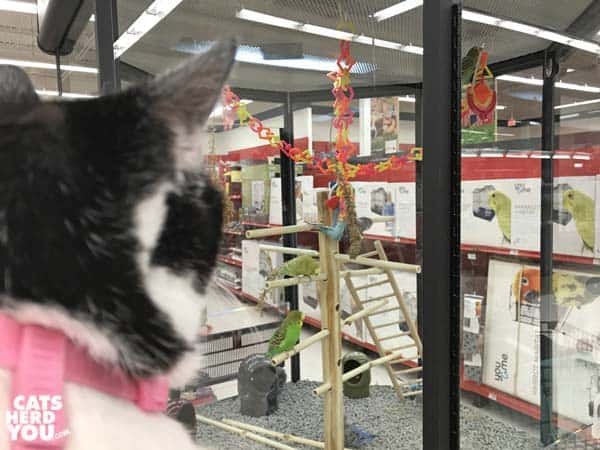 black and white tuxedo cat looks at birds in pet store